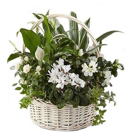 Композиция из комнатных растений в корзине C019