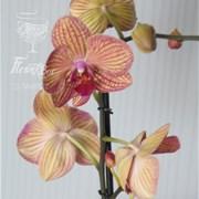 Орхидея Фаленопсис С001