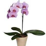 Орхидея Фаленопсис I +кашпо C017