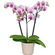Орхидея Фаленопсис II +кашпо C016
